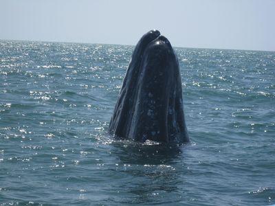 BAJA ALUMNI 2010 Whale Watching 096