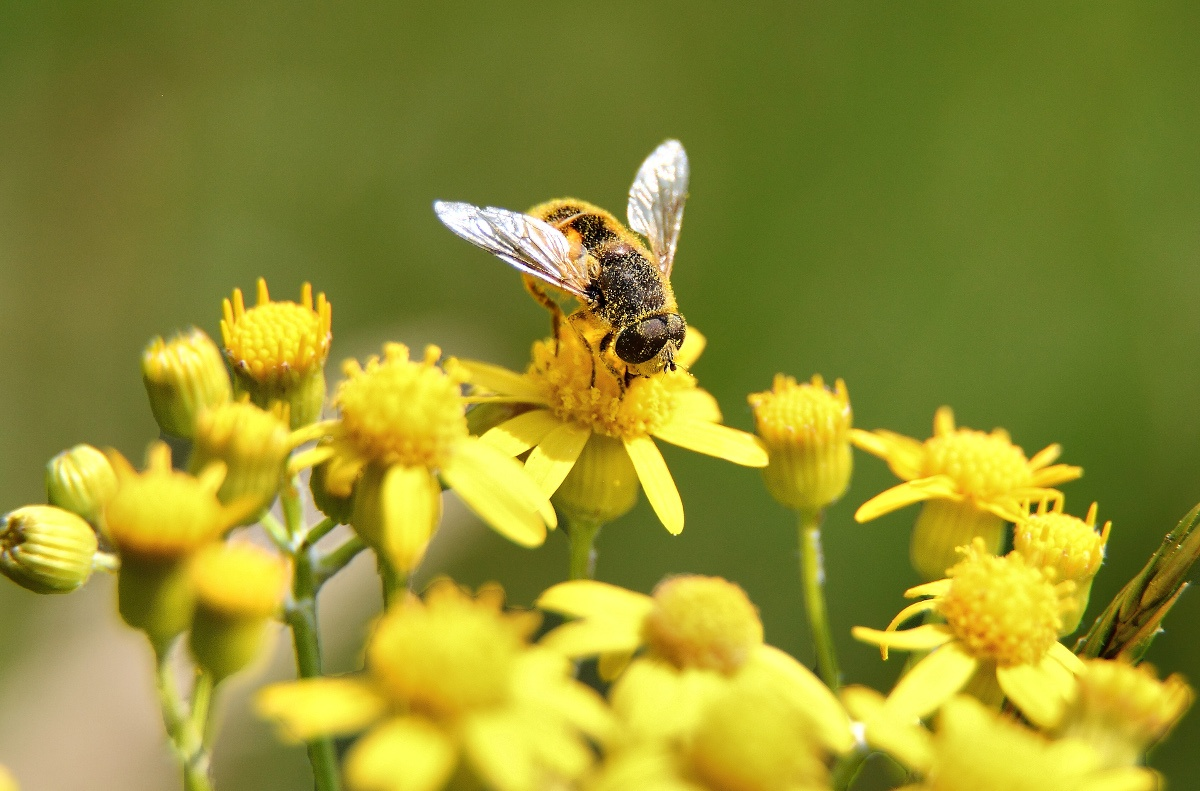 Close up of bee covered in pollen landing on yellow flowers