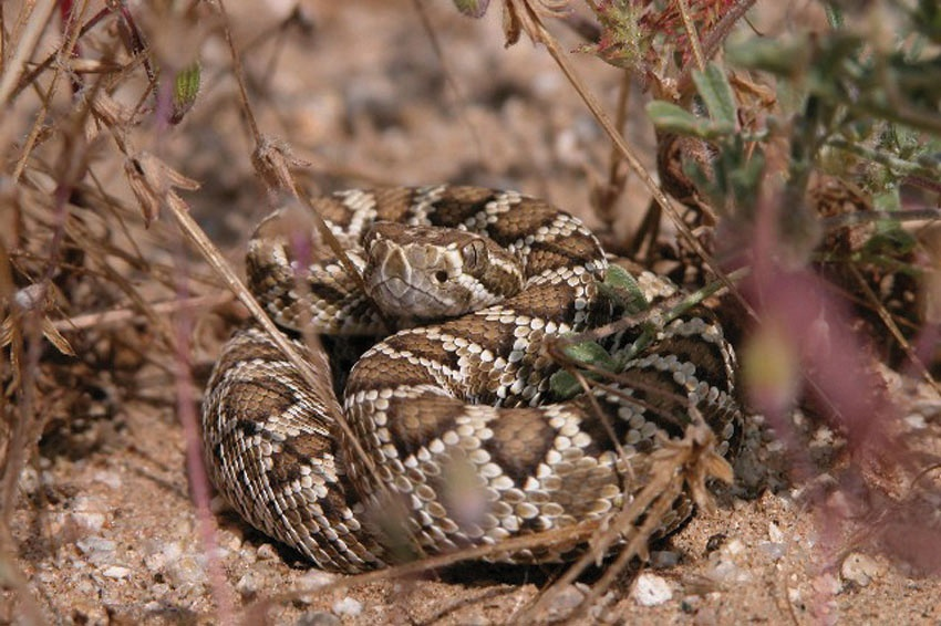 Rattlesnake curled up on the sand