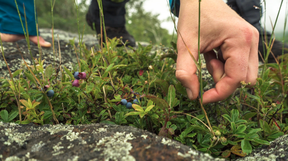 Close up of hand picking wild berries growing close to the ground