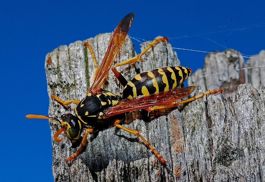 Wasp on a fence post