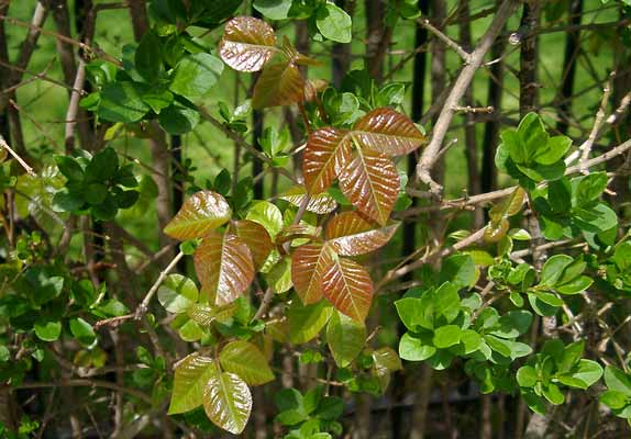 Poison ivy growing in a hedge