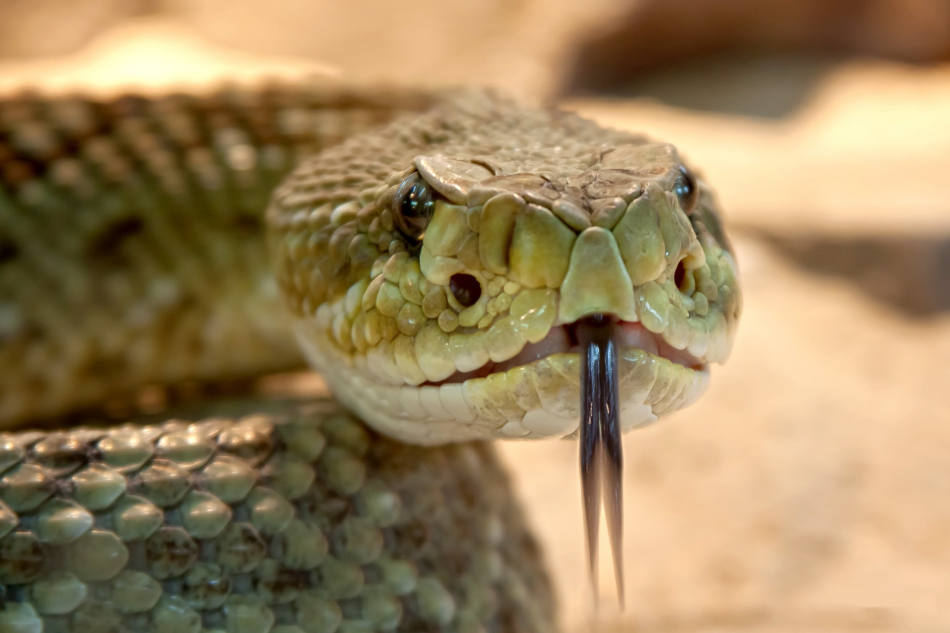Close up of a rattlesnake