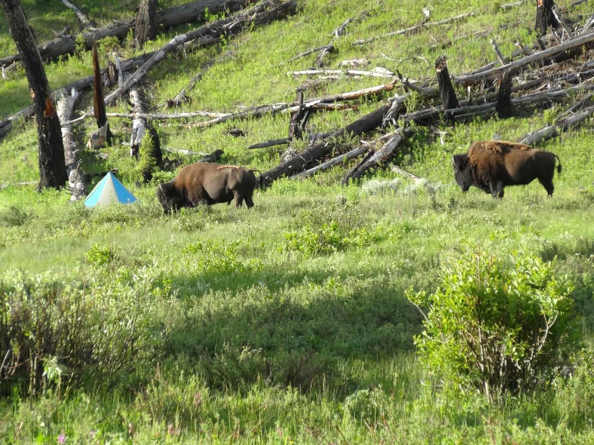 Two bison investigate a NOLS camp