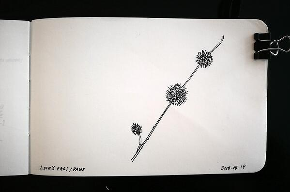 Lion's ears plant sketch