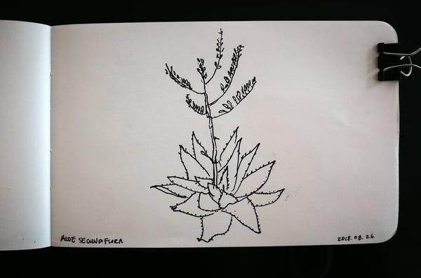 Aloe secundiflora sketch