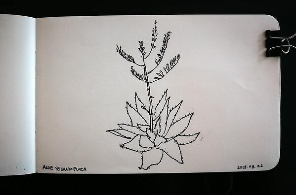 Aloe secundiflora sketch
