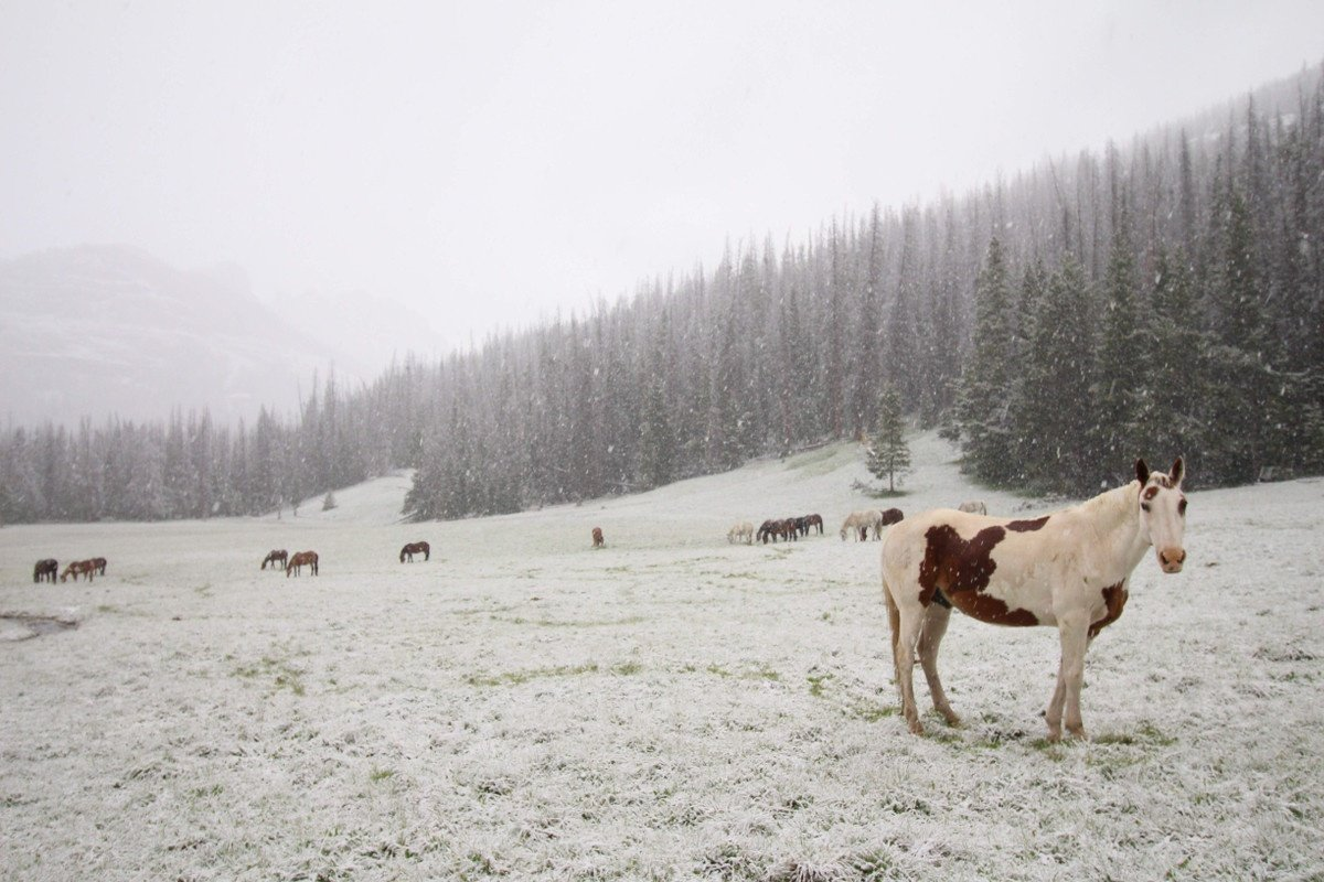 Herd of horses standing in a snowy field