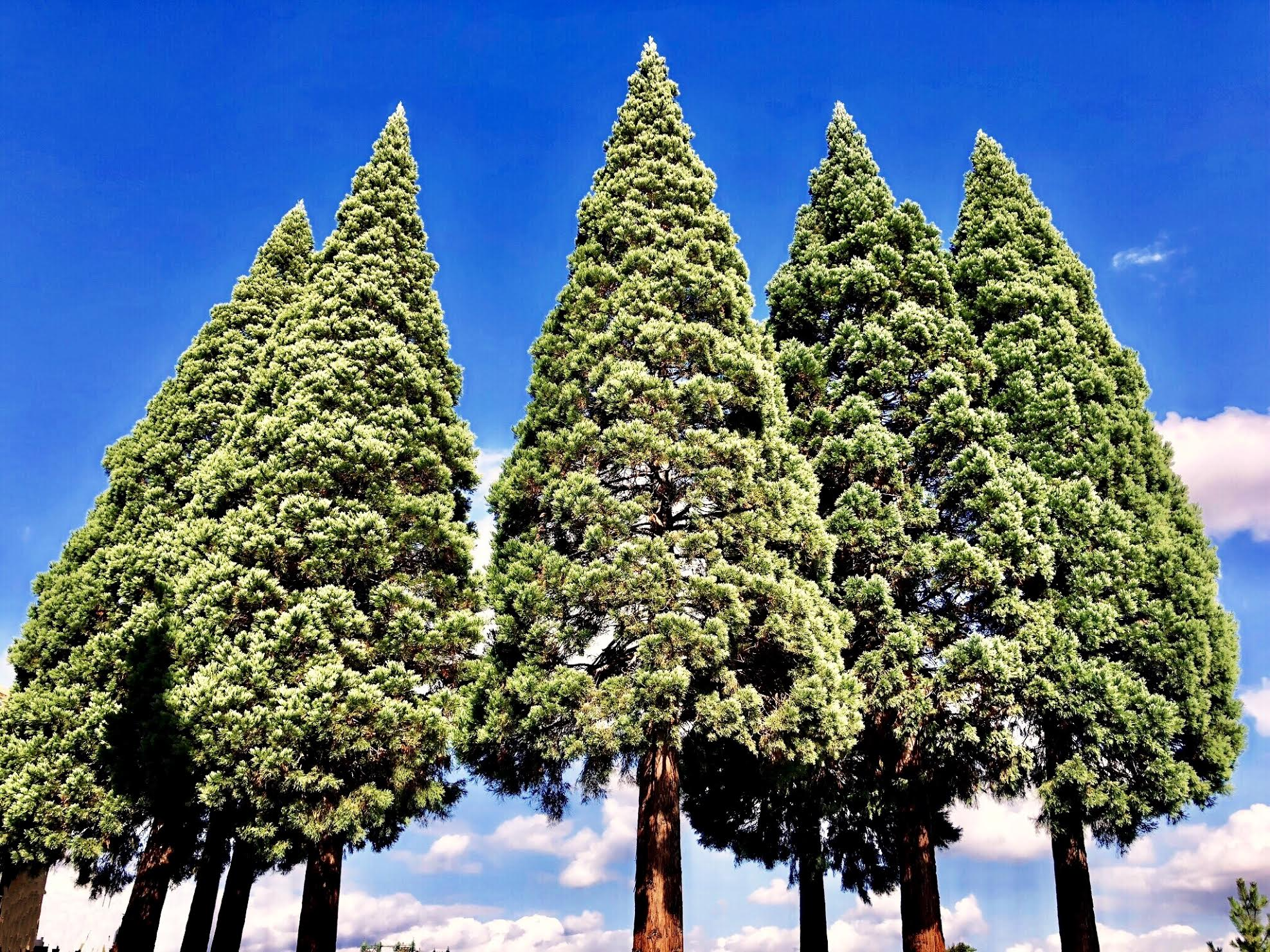 Several large conifer trees