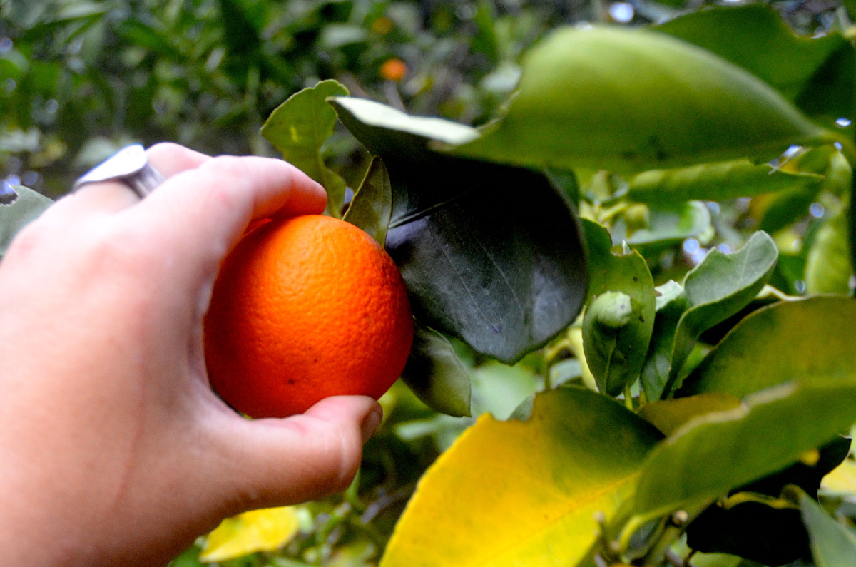 Close-up of hand picking an orange off a tree