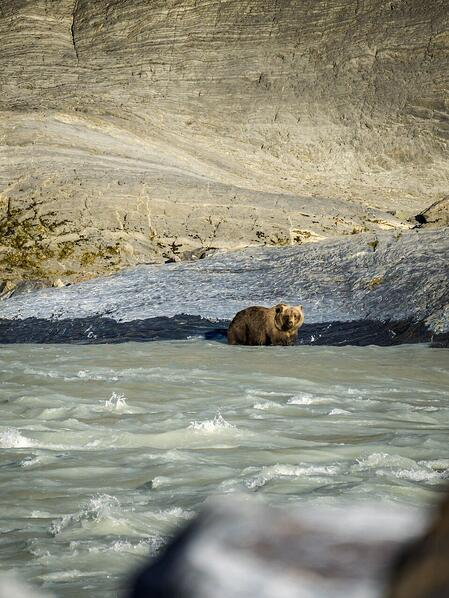 Grizzly bear stands in river