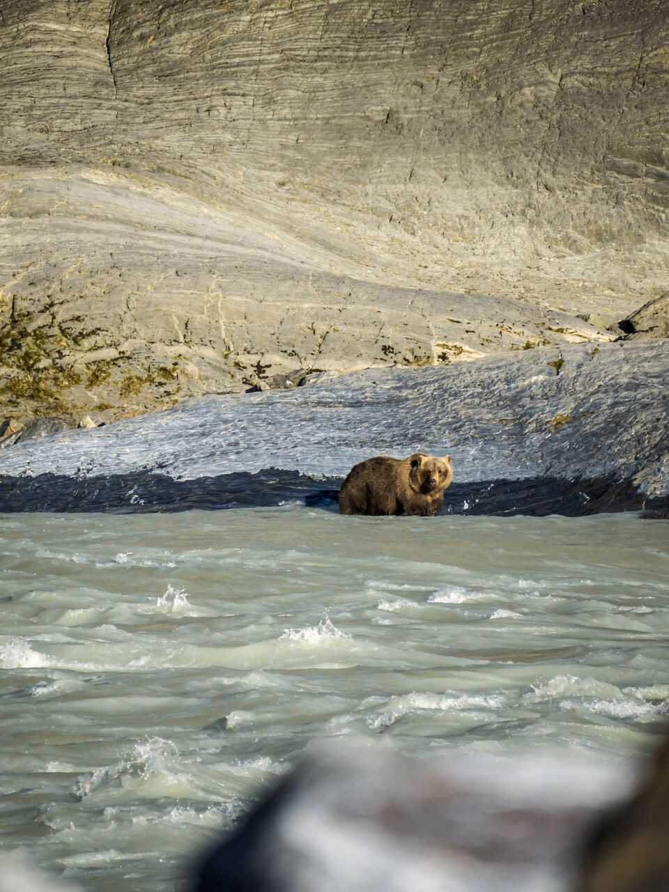 grizzly bear in the water near river's edge
