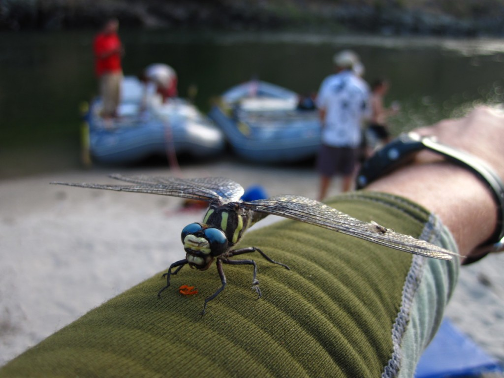 Dragonfly on the Salmon River