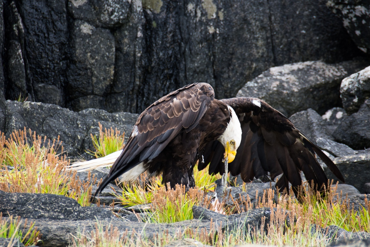 Bald eagle on the ground with wings spread