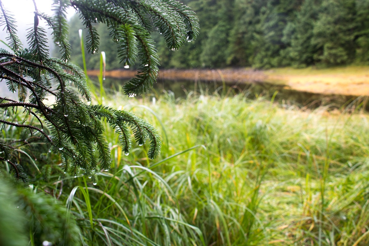 pine tree branches dripping onto green marsh grass on a rainy day