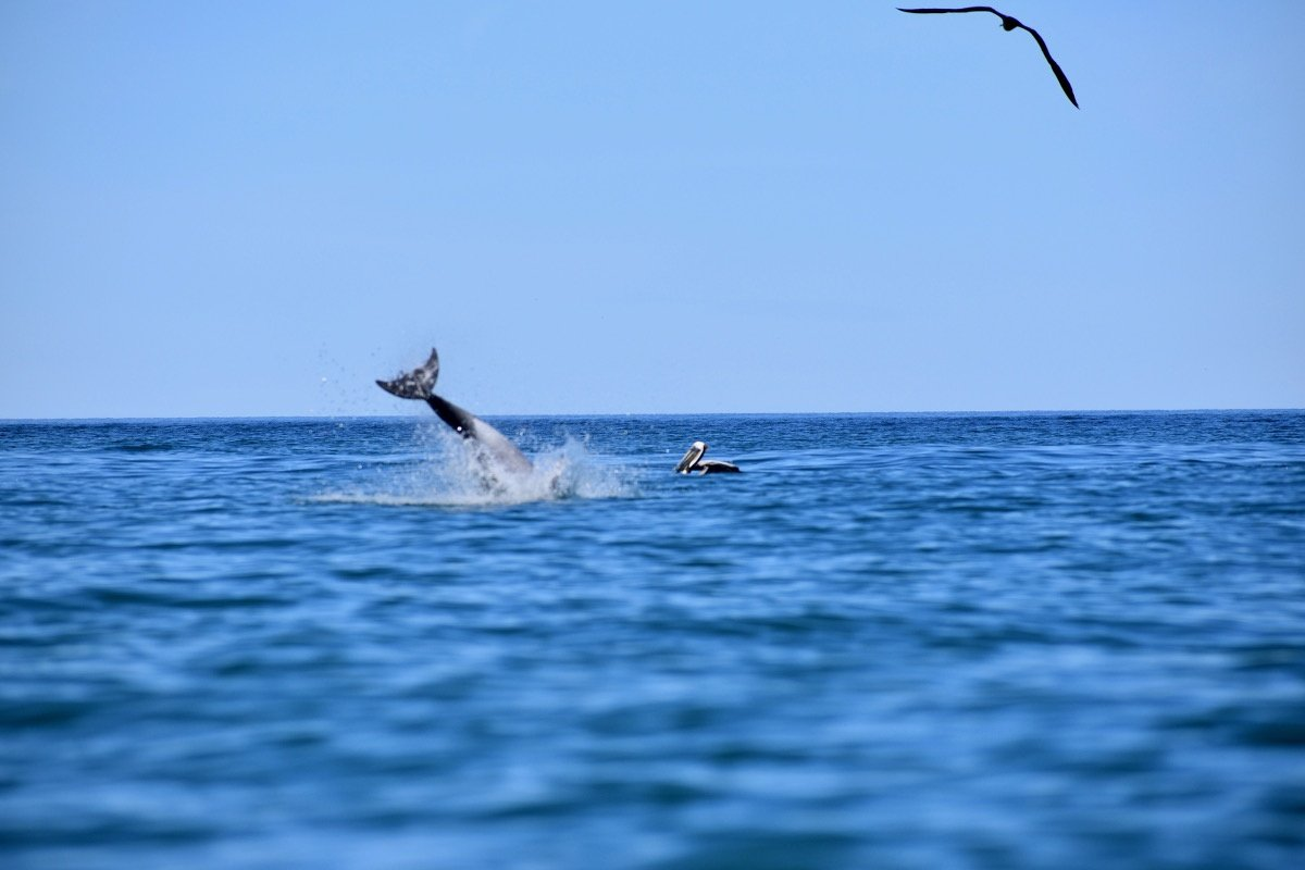 Dolphin leaping in the ocean with sea bird floating in the background