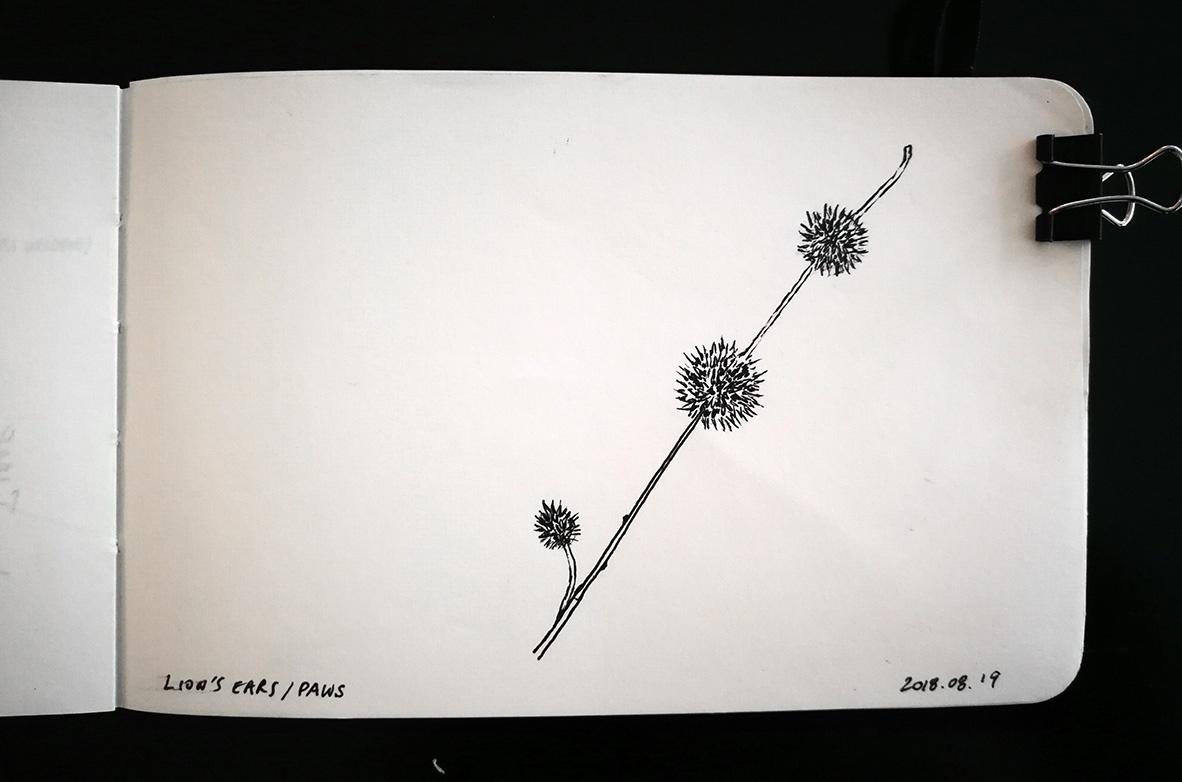 Lion's ears plant sketch
