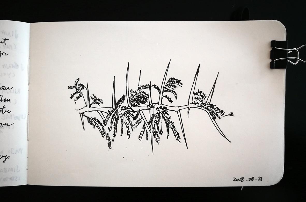 Close-up of thorn acacia