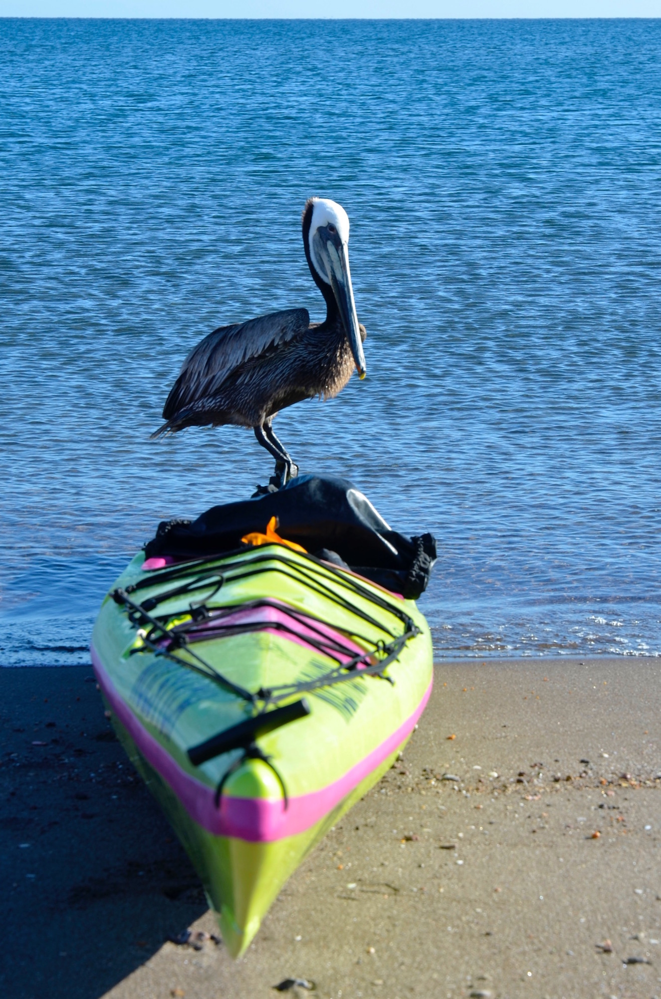 Pelican perched on top of a sea kayak