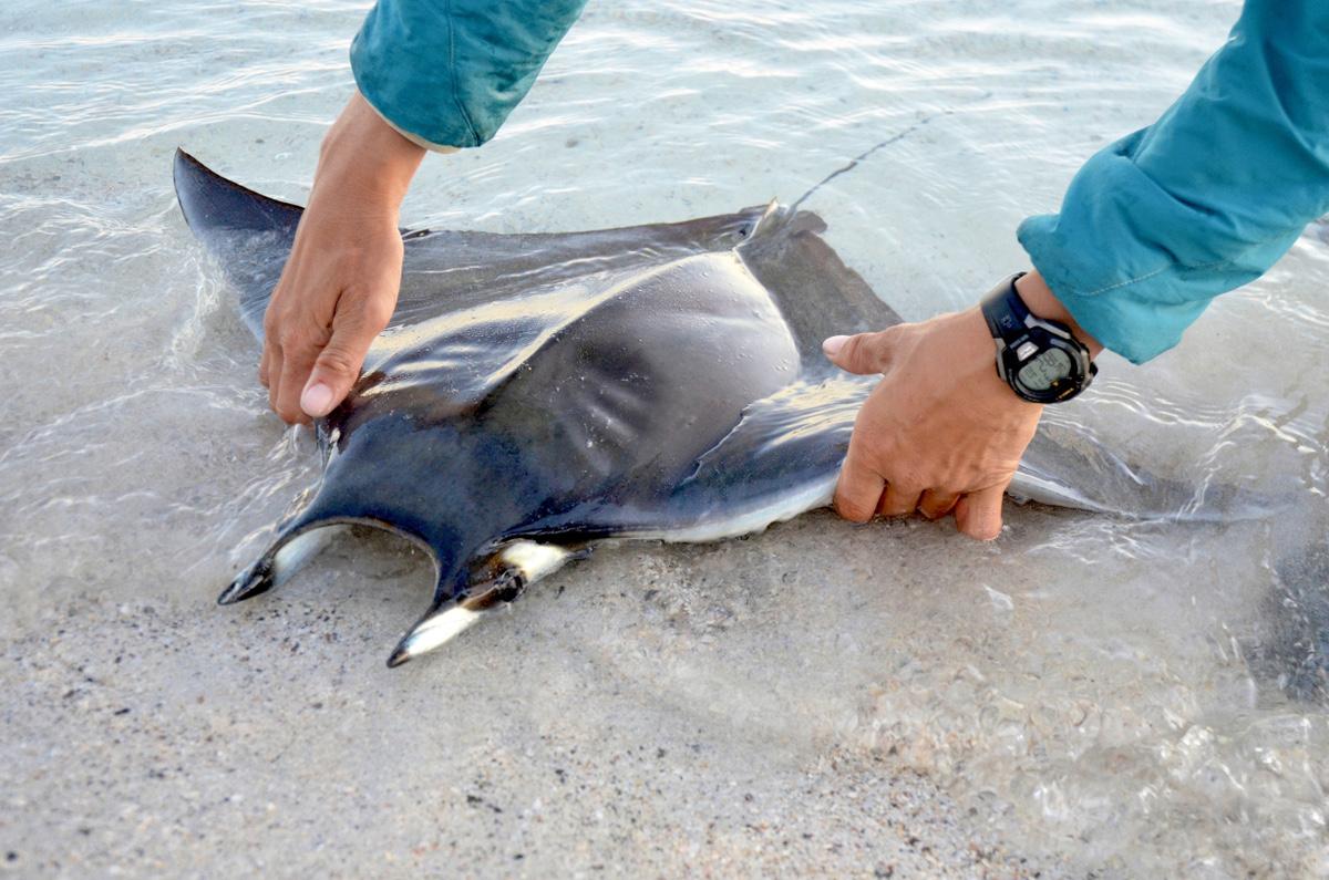 Young manta ray