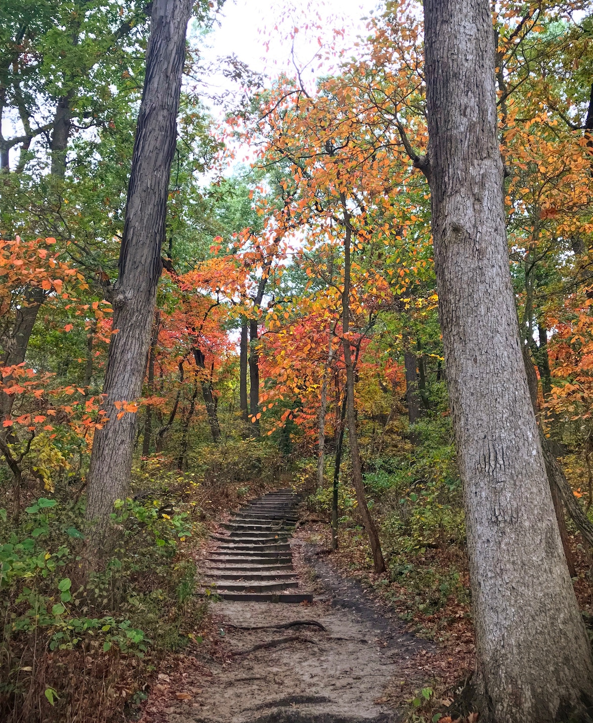 trees with fall foliage lining a trail with wooden steps