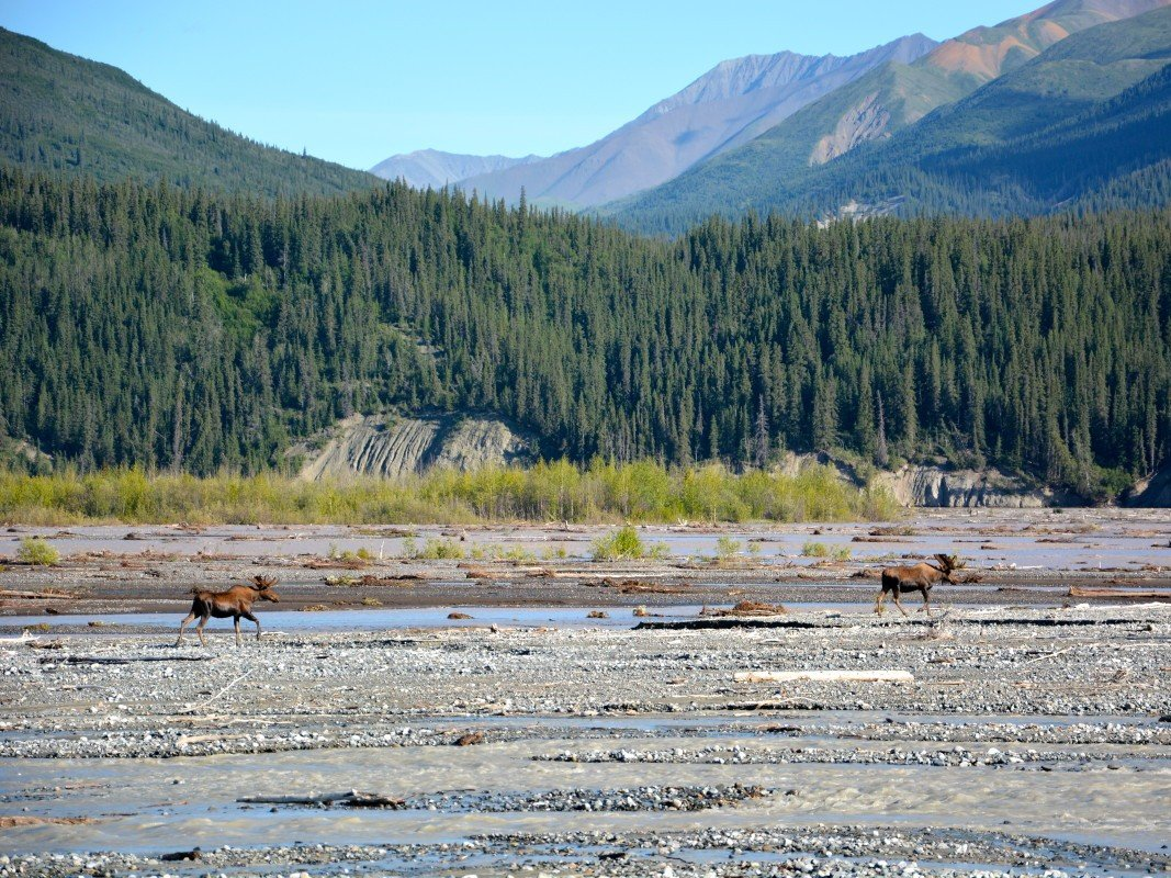 2 moose cross a gravel riverbed in alaska