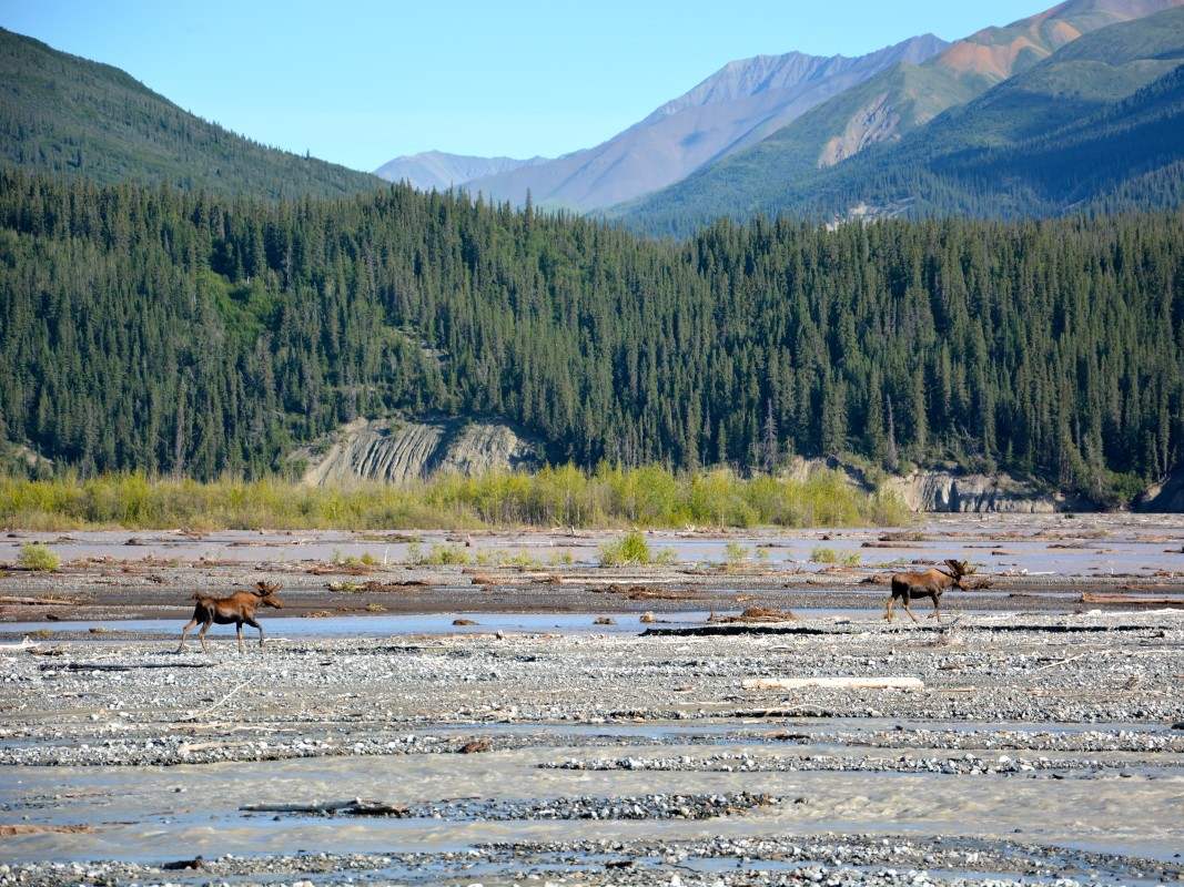 Moose on a gravel river with forest and mountains in the background