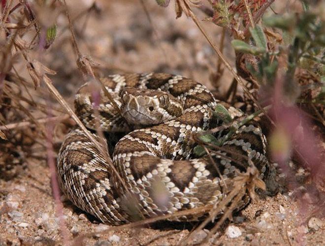 Crotalus_scutulatus_Mojave-rattlesnake-wikimedia-web