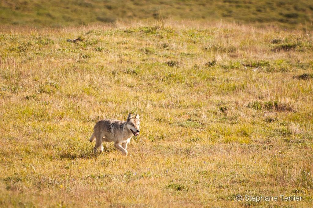 Wolf near camp