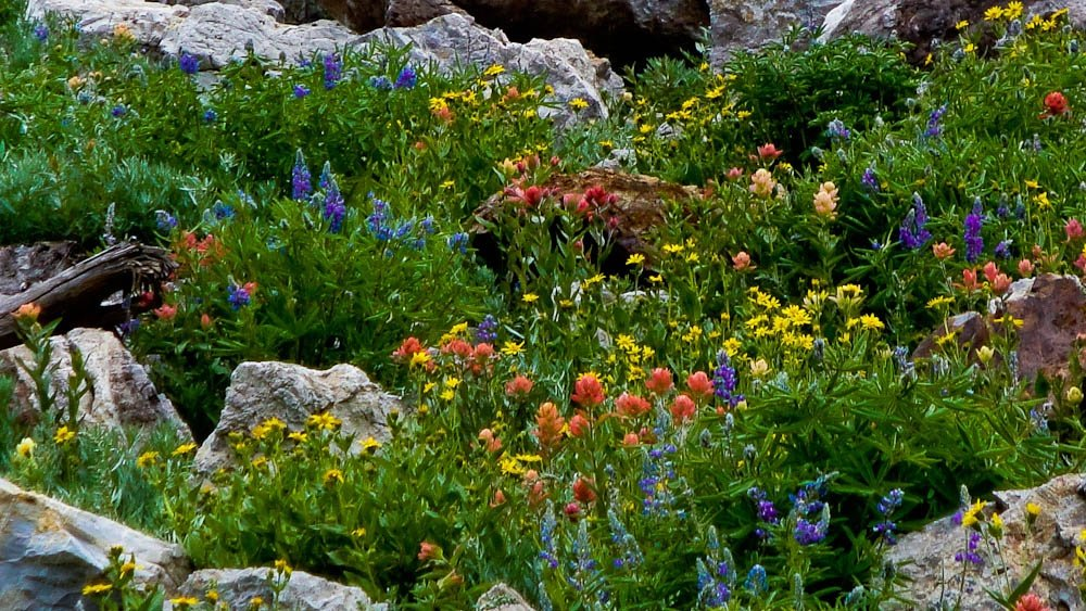 red, yellow, and purple wildflowers amongst rocks in the mountains