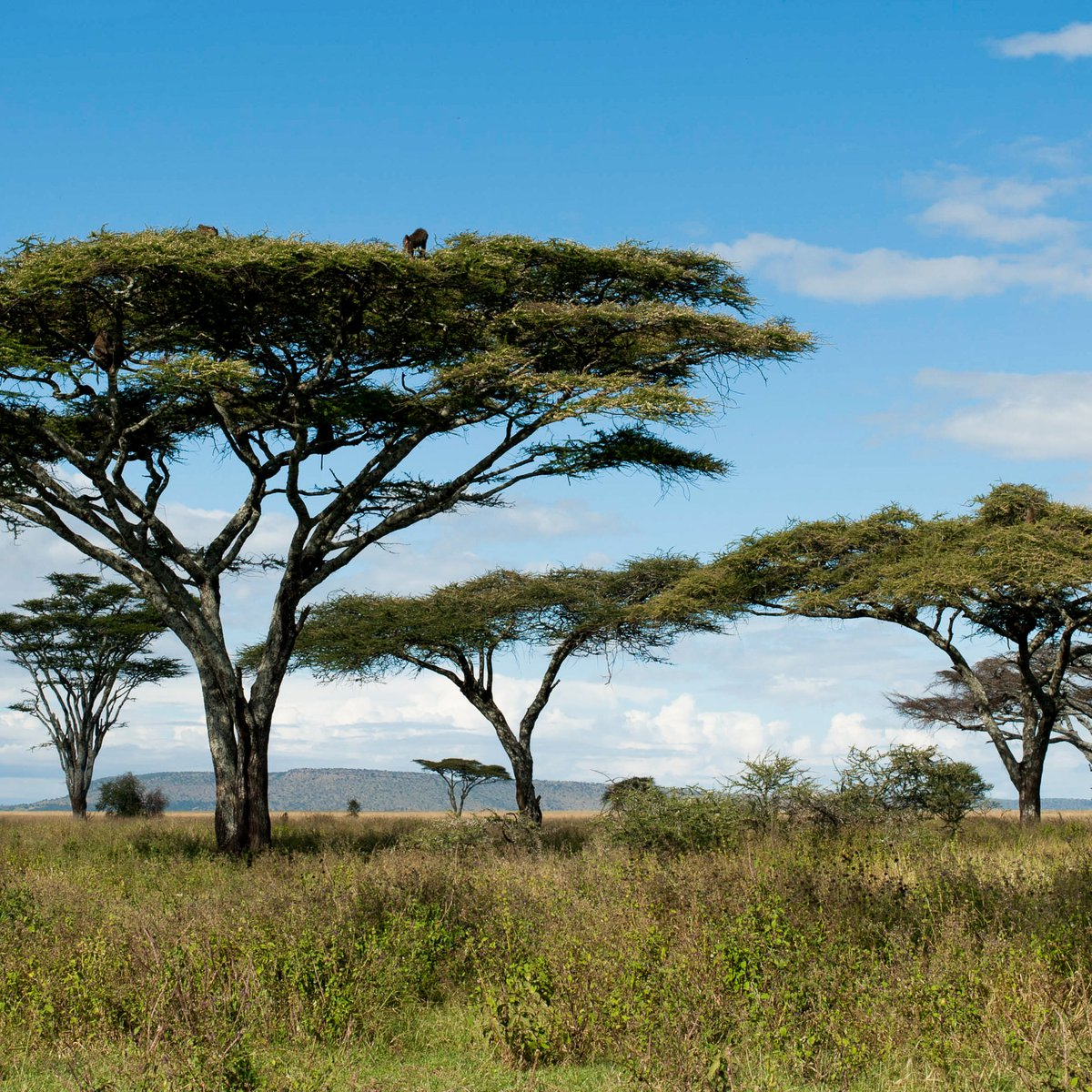 Acacia trees in East Africa